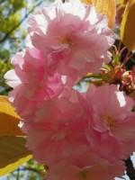 八重桜の花言葉の意味!開花時期や種類・品種はどれくらいあるの?