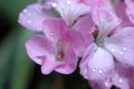 ゼラニウムの花言葉は色別や英語で意味が違う?種類や品種は?