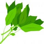 モロヘイヤの効能や効果!粉末やお茶でも栄養は同じ様に得れるの?