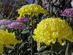 菊の種類と花言葉!スプレー菊や丸いもの、春に咲く品種は?