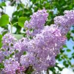 紫や白など色別のライラックの花言葉!花言葉の由来には悲しい物語が