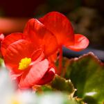 ベゴニアの花言葉!色別でも意味が違う?種類はどれくらいあるの?