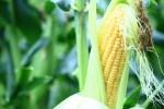 プランターで出来るとうもろこしの育て方!種まきや収穫時期はいつ?