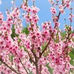桃の花言葉とその由来!色別で違う?風水での意味は??